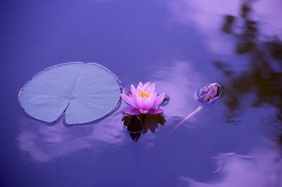 lotus-1205631_960_720.jpg